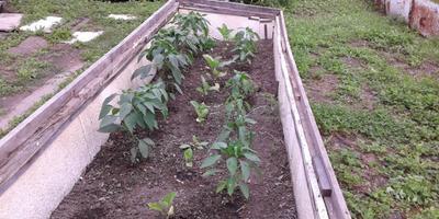 Огородные эксперименты (окончание)