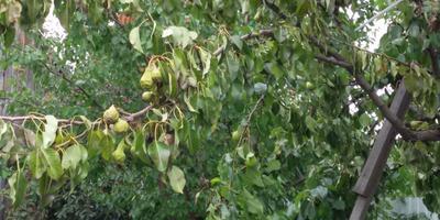 Помогите спасти плодовые деревья