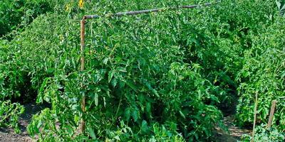 Наш секрет подвязки помидоров