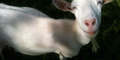 Покупка первой козы и немного отступлений