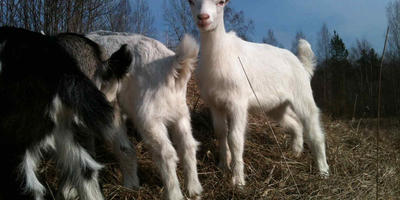 Козы, козлята, молоко и деньги