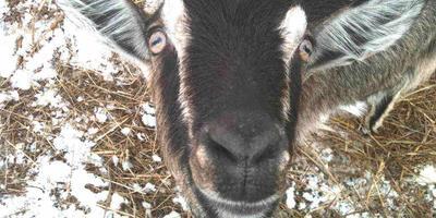 Что хорошего может быть в козах?!
