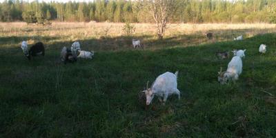 О козах, печке и тепле