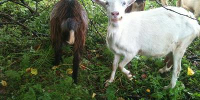 О стойкости и победе козы Фени