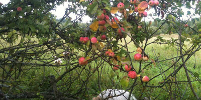 Козы, яблони Вярьмово и деревня