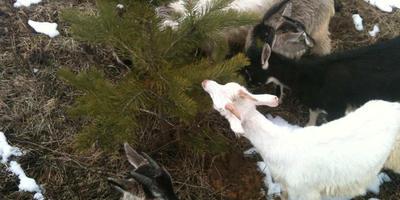 Незаразные болезни коз: как и почему