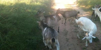 Судьбы Чахо и Билли, а также жизнь осенних коз