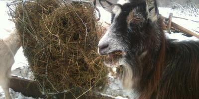 Еще и камерунский пигмей вот есть, коз всяких не счесть