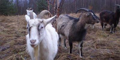 Погода, козы и курьезы