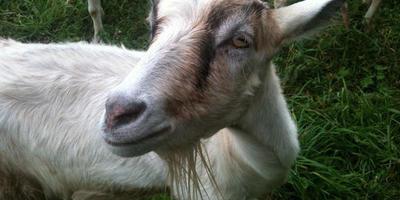 Сено для Дашки и Белки, а также про жизнь коз на Луне