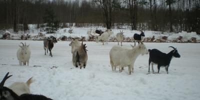Холод, макароны и козы