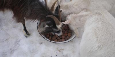Картошка и козы, а также про дружную компанию огородных злодеев