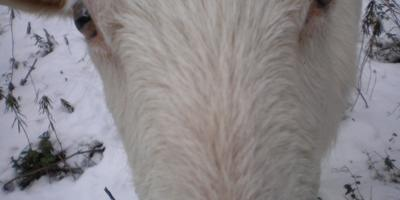 Козы, этология и кошка