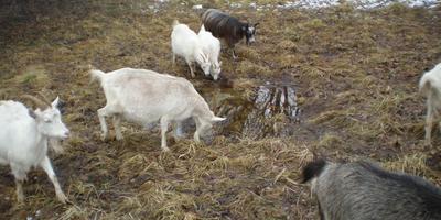 Весенние козы, скорые роды и ожидание всего