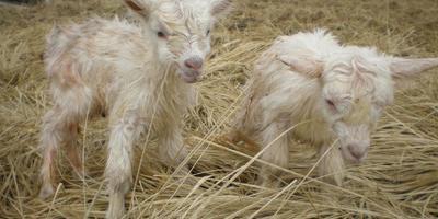 Коза Тридцатьтринольпять и ее козлята