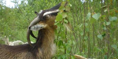 О стройке козлятника, а также о всяких рогатых и не очень козах и козлятах