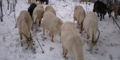 Доильный аппарат для козы, или Счастье мое