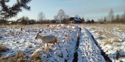 Люди и козы