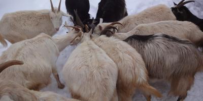 Серодымчатая, Багира и немного про коз и Олега
