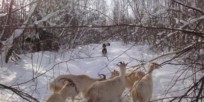 Победа козы Дурынды