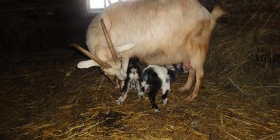 Козы, козлята, многоплодность