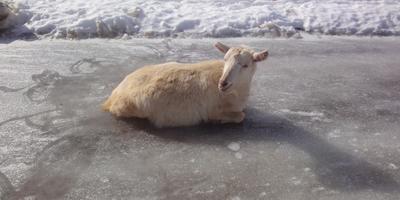 Бендера и ее козлята