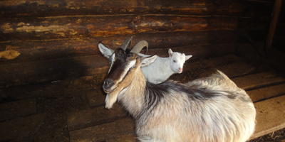 Сравнение методов выращивания козлят, а также про Фею и везение