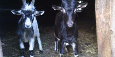 Кошки, козлы Бумер и Бестолочь, а также болотное дело и хитрые козы