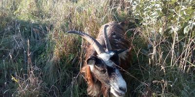 Экономика, деревня, козы