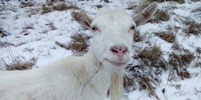 Декабрь, козы и копытная гниль