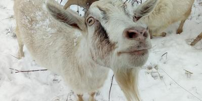Совсем-совсем немного про коз, а также про Дашку и Двенадцатую