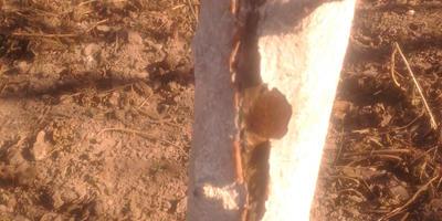 На молодой яблоне потрескалась кора, дерево отстает в развитии. Чем можно помочь?