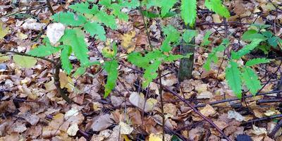 Выживут ли ростки дуба и рябины в березняке? Можно ли им чем-то помочь?