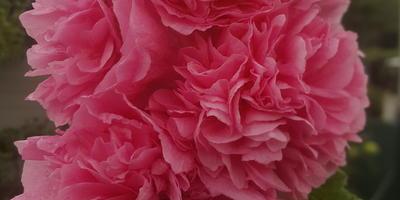 Махровые мальвы (шток-розы)