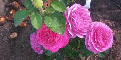 Розы очарования  и розы разочарования