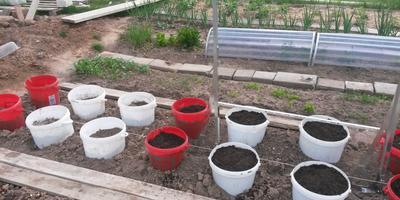 О выращивании помидоров в ведрах без дна в теплицах и открытом грунте