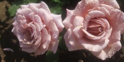 Мои розы-2018. Любимая Коко Локо