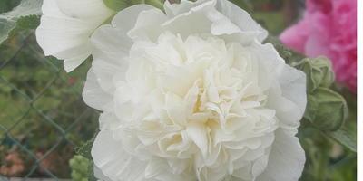 Красавица шток-роза, или Как я выращивала махровую мальву