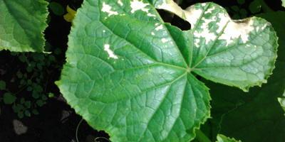 На листьях огурца появились странные пятна. Что делать?