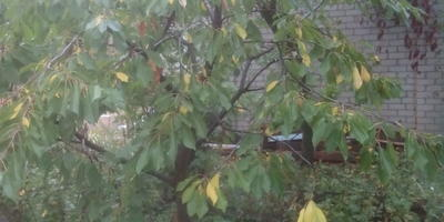 Почему желтеют и опадают листья у желтой черешни?