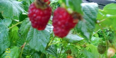 Сладкие ягодки в моём саду