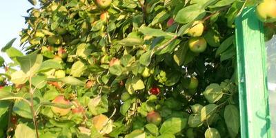 Яблокопад