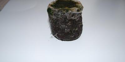 Почему корни петунии проросли, а всходов не было?