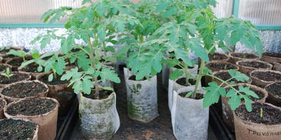 Как Трихоплант и Биоспектр помогли вырастить крепкую рассаду томатов. Мои выводы