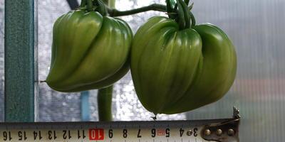 Бифы! Биф-томат Сокровище Инков F1 от Партнёра. Первое впечатление...