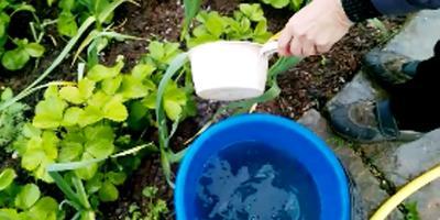 Хлороз на клубнике. Органическое земледелие