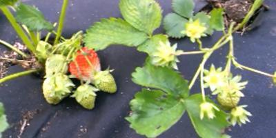 Мульчирование клубники. Органическое земледелие