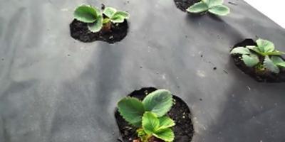 Ошибки при посадке клубники на агроволокно. Органическое земледелие