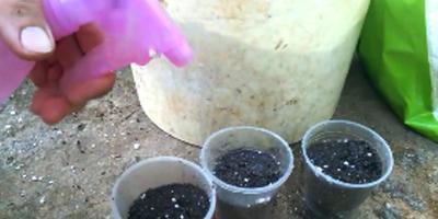 Как размножить клубнику усами на агроволокне