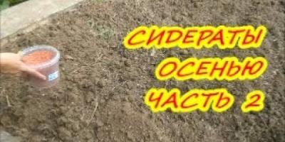 Сидераты осенью/Как улучшить почву (часть 2)